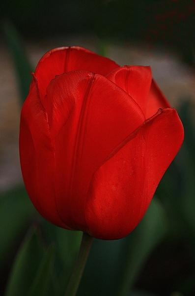 One Romantic Tulip. :) by Tonytee