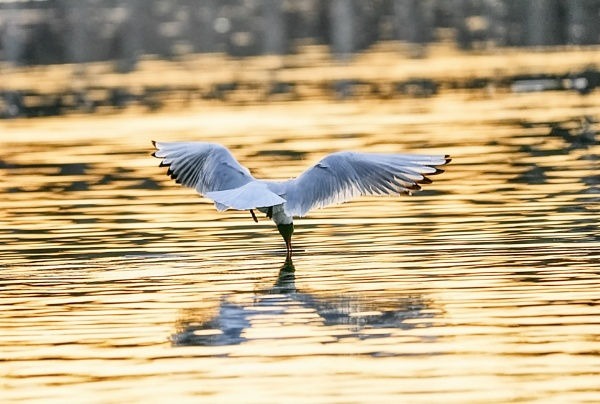 Laughing gull in Espoo by hannukon