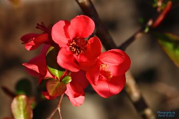 Common Quince