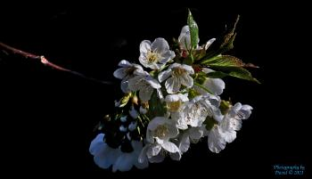 Rainier CHerry Blossom's