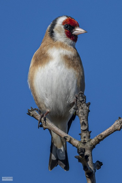 Goldfinch by LighthousePhotography