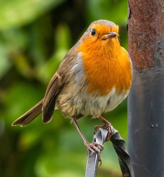 Robin by lagomorphhunter