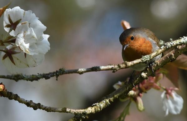 Robin on cherry blossom by nicholl