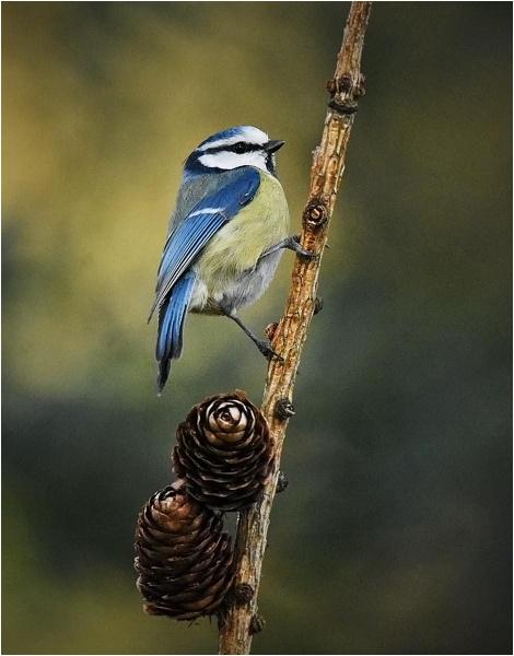 Blue Tit by MalcolmM