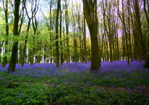Bluebell wood. by niknakpaddywhack