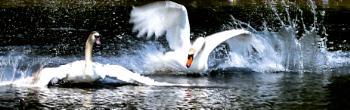 Swan guarding his territory