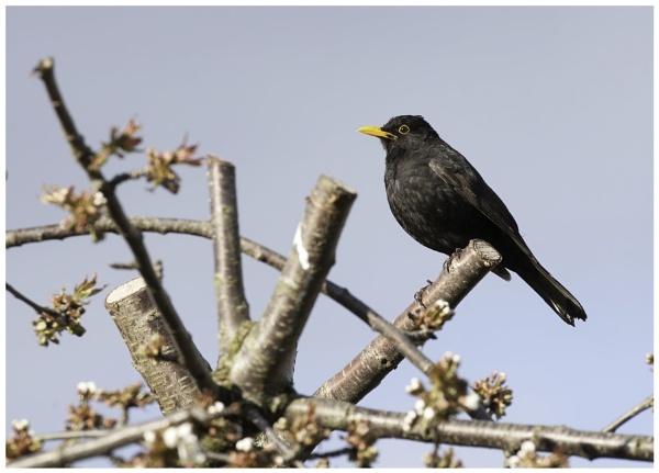 Blackbird by davidgibson