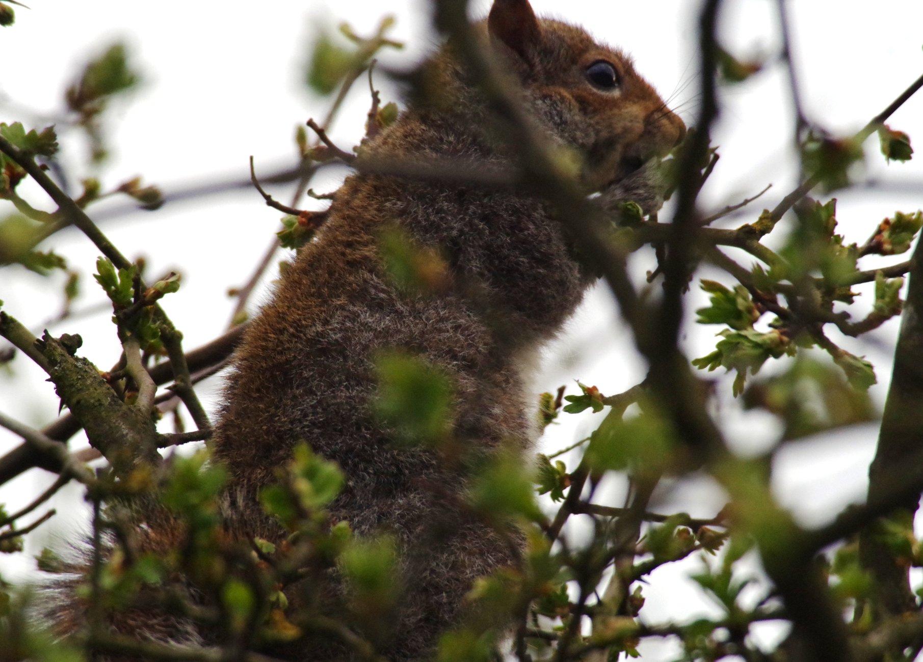 squirel tree