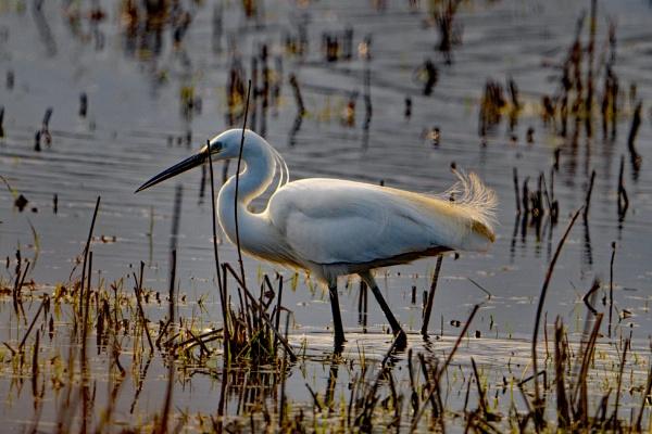 Little Egret. by terra