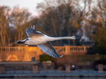Swan In Golden Light