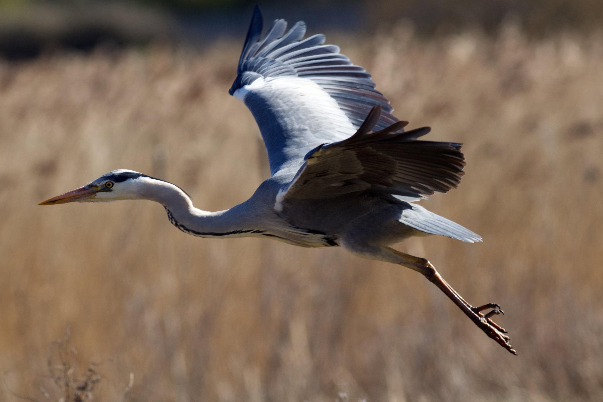 Grey heron on its way.