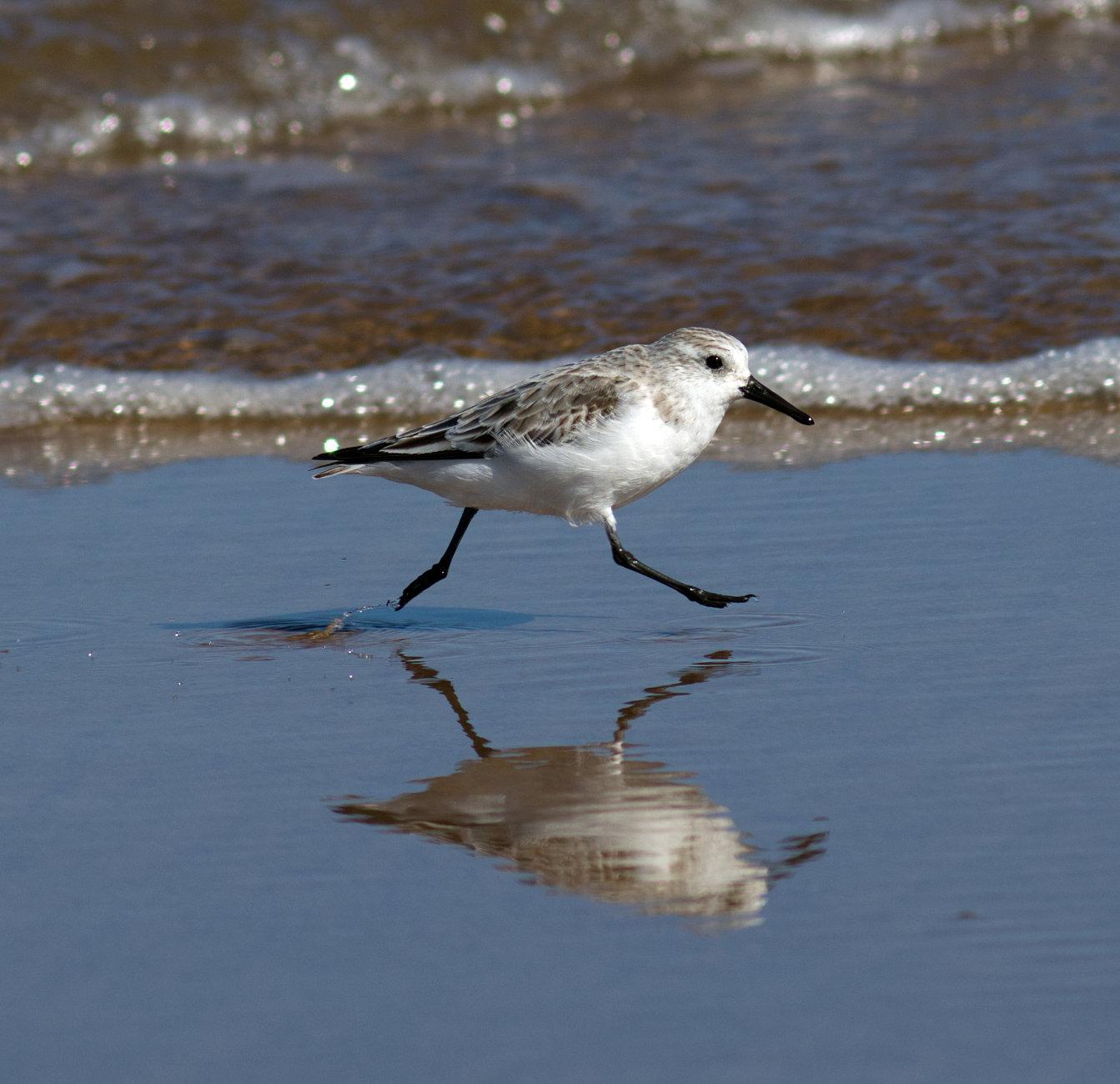 Levitating sanderling