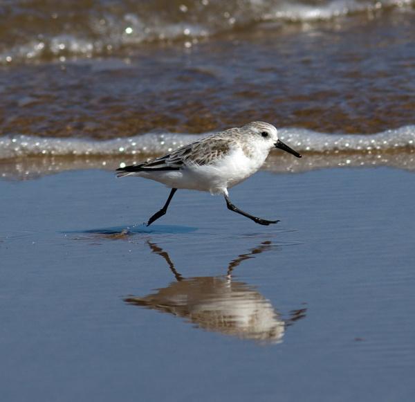 Levitating sanderling by oldgreyheron