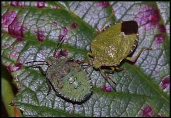 Green Shield Bugs on a Bramble Leaf...