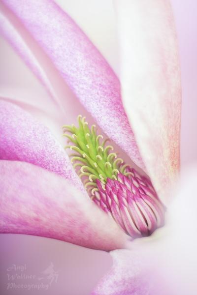 Magnolia by Angi_Wallace