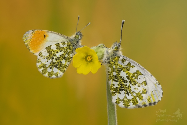 Orange tip butterfly pair by Angi_Wallace
