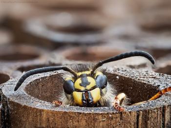 Awakening Wasp