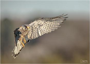 in flight kestrel