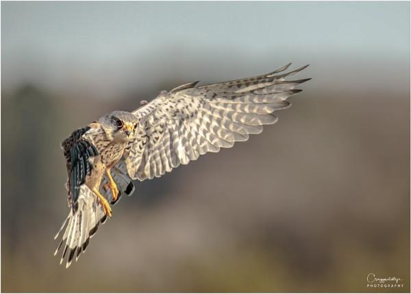 in flight kestrel by craggwildlifephotography