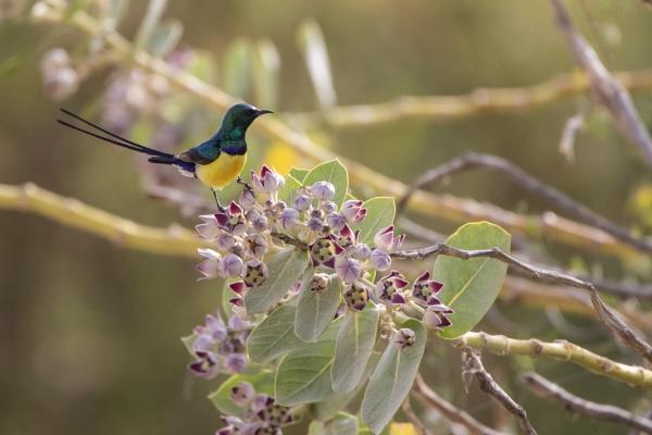 Male Nile Valley Sunbird by WorldInFocus
