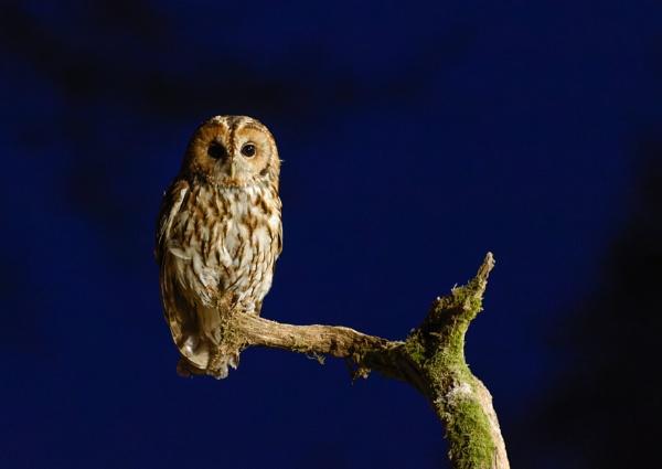 Tawny Owl by jasonrwl