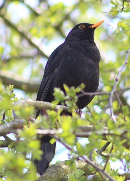 Blackbird by peterkin