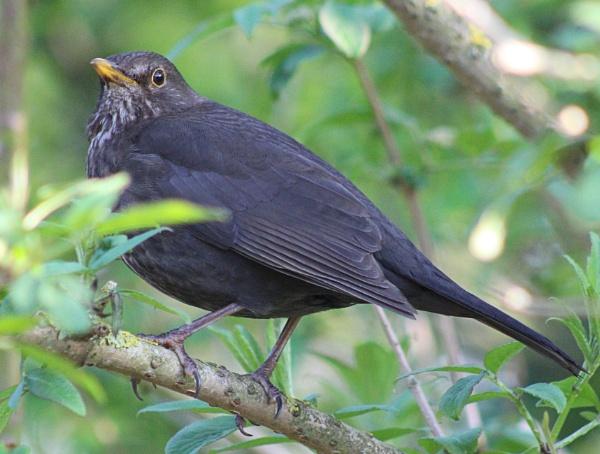 Blackbird (Turdus merula) by peterkin