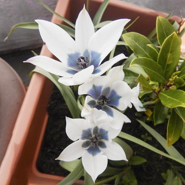 Coerulea Oculata Alba Tulips by Irishkate