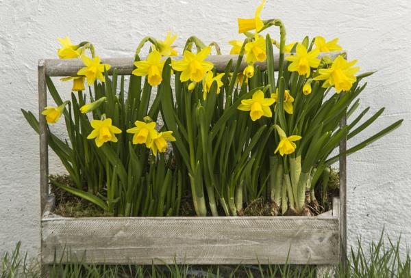 Daffodil Trug by Irishkate