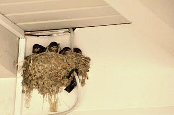 Swallows in Corfu...