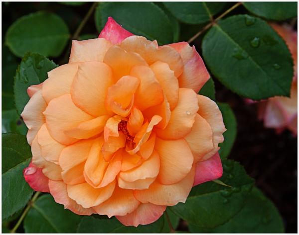 A Voodoo Hybrid Tea Rose  (best viewed large) by gconant
