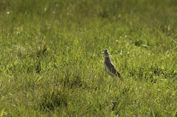 skylark - severe crop of an increasingly rare uk bird