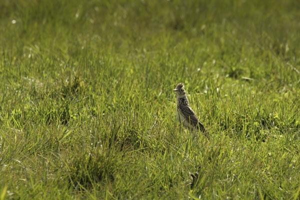 skylark - severe crop of an increasingly rare uk bird by tpfkapm