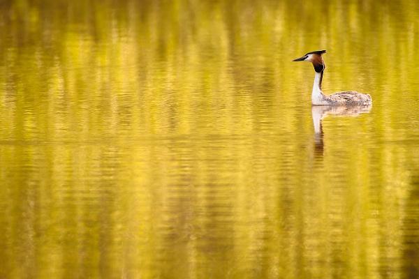 Golden Grebe by BydoR9