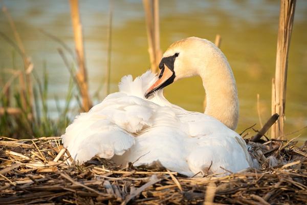 Nesting Swan by BydoR9