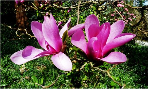 Magnolia by JuBarney