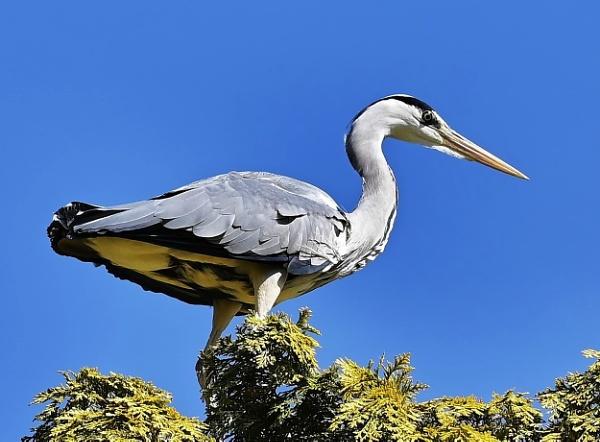 Tree top Heron by nealie