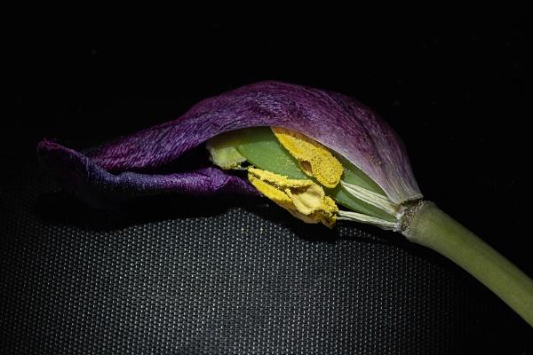 Inside A Tulip by kaybee