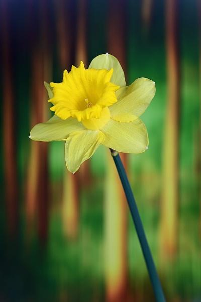 Lonely Daffodil by gcarth