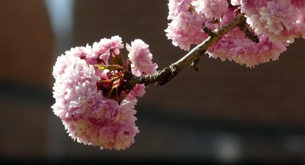 Cherry blossom by kevlense