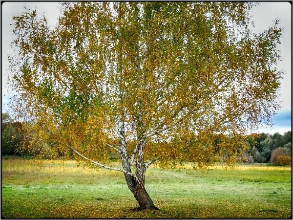 fall birch 2 by FabioKeiner