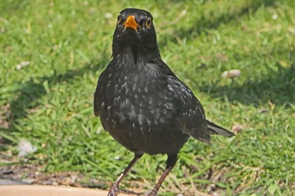 Blackbird in my Garden by Ted447
