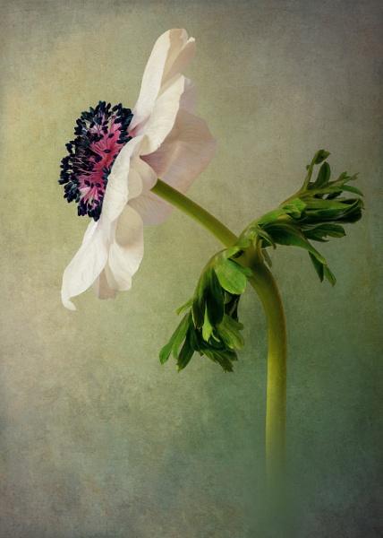 Anemone de Caen 3 by flowerpower59