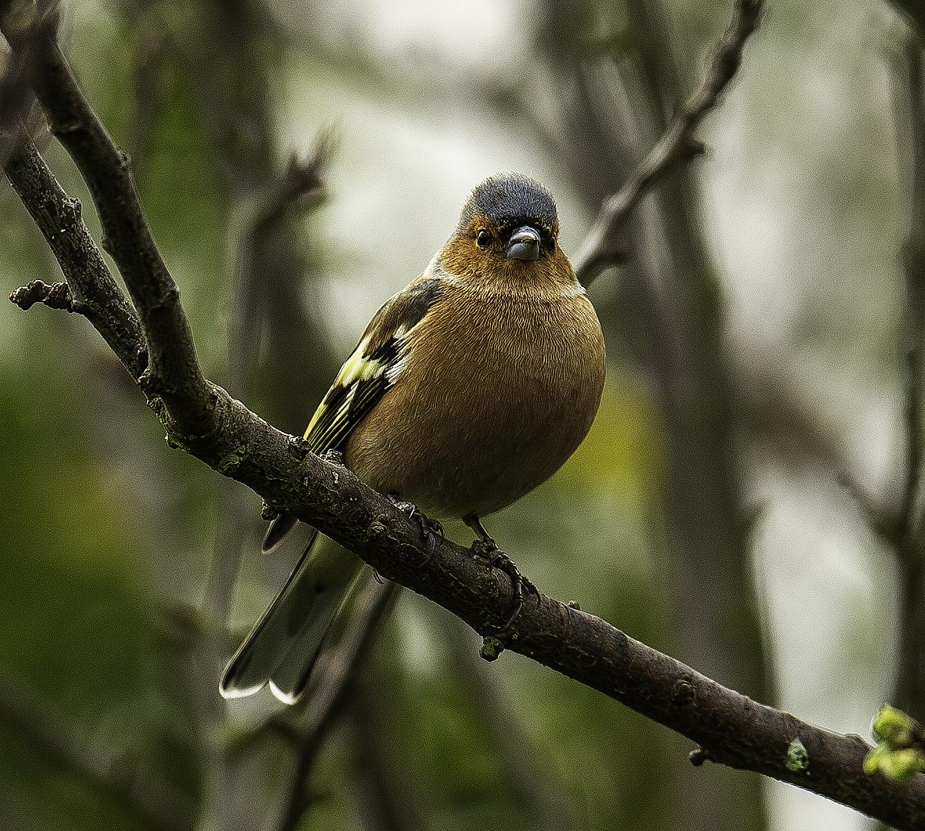 Chaffinch (Male)..