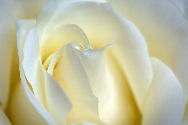 White rose by Tigercomp