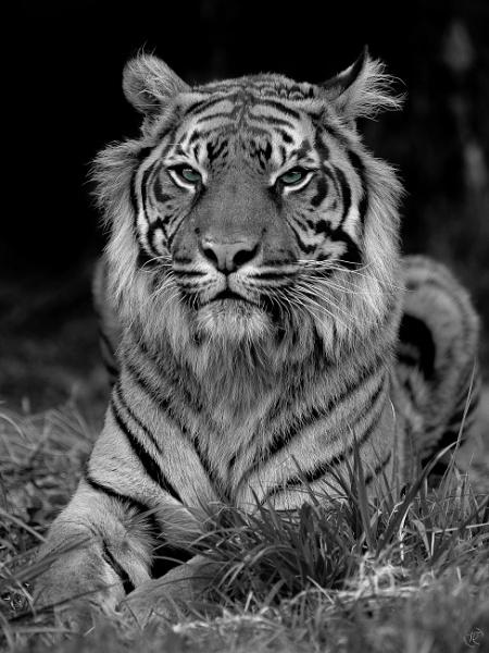 Tiger (Sumatran) by tomriley