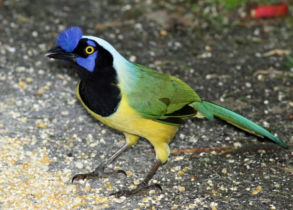 Green Jay by Pitter