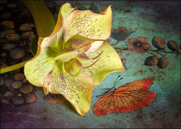 Hellebore and butterfly by Carolhall