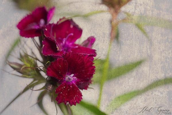 Dianthus by pixel_Painter