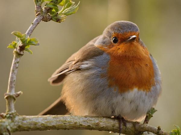 Er - a Robin... by alfpics